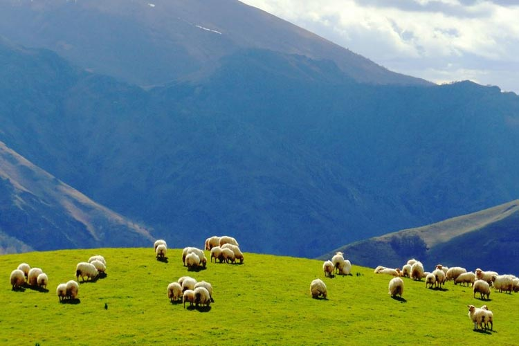 Pays Basque sheeps