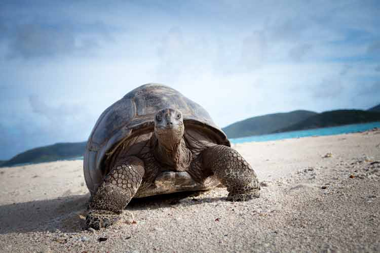 necker island turtle