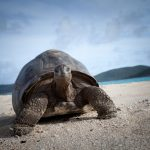 Turtle on the beach at Necker Island