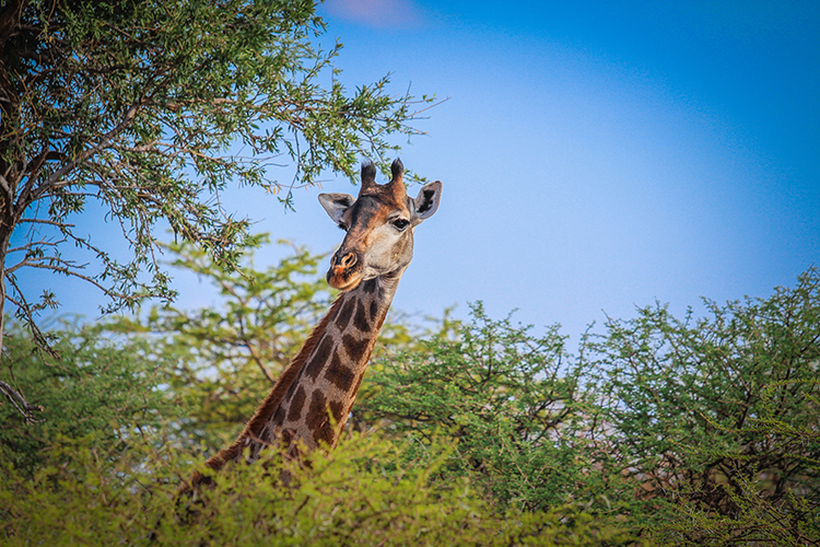 A girafe in South Africa