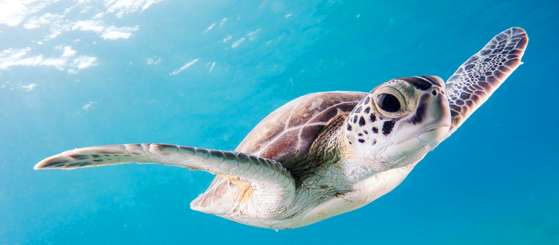 A marine turtle swims in the Inidan ocean