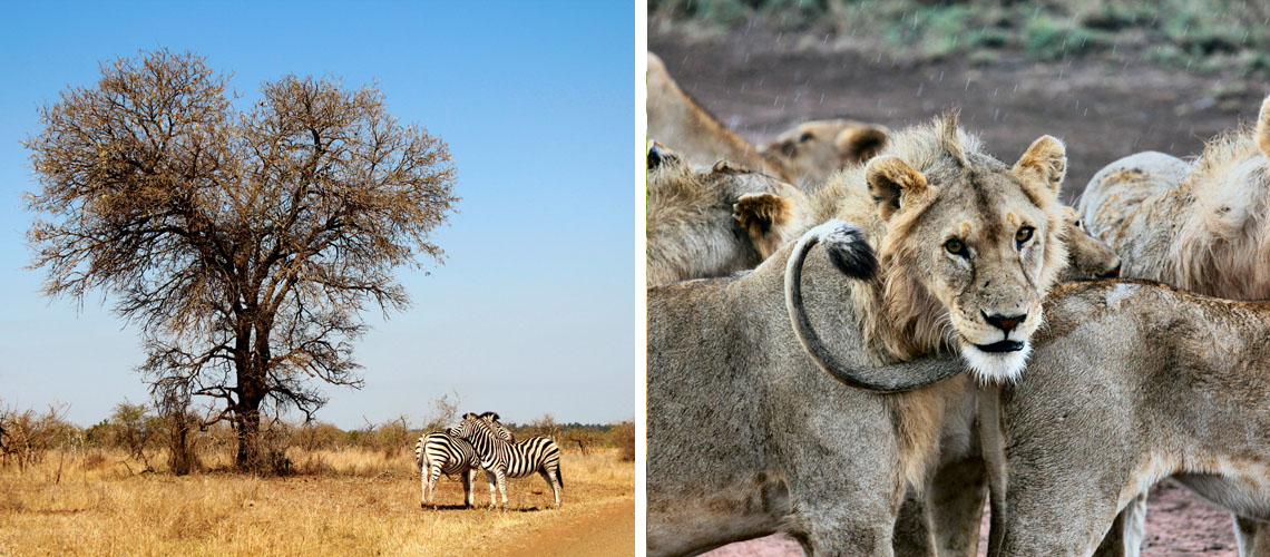 Zebras and lions in the South African savannah