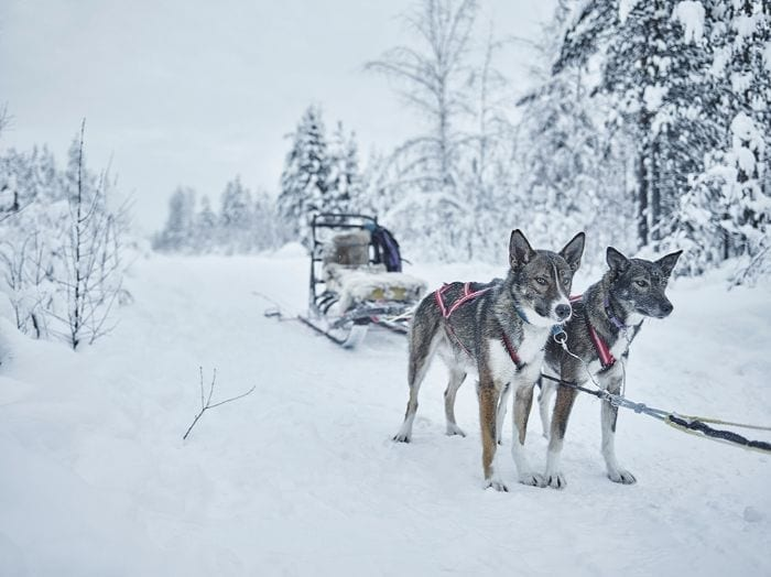 Treehotel AB sled dogs