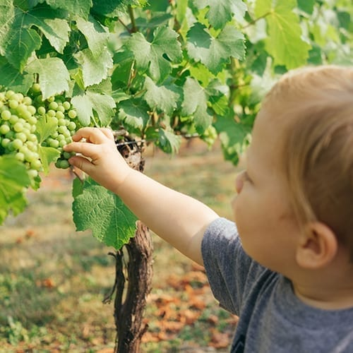 boy picking grapes