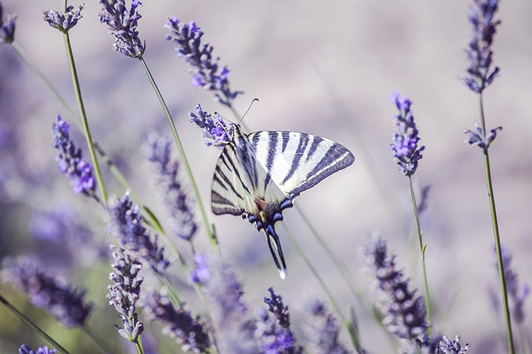 Butterfly on lavender Provence